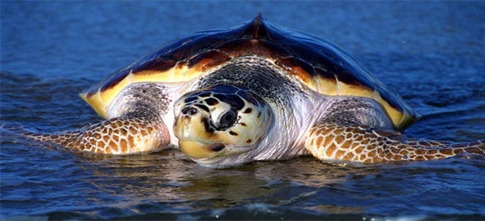 Caretta Caretta turtle on Zakynthos!